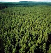 Large Coniferous Forest