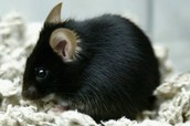 rodents afected people in the black plauge