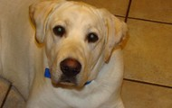 Gunny our Yellow Lab