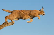 Jumping Caracals