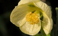 Abutilon Pitcairnese flower
