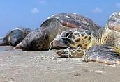 צב ים שנחנק ברשת דייג