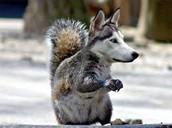 The Husky Squog