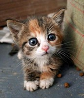 Max Are Kawaii Kitten For Sell
