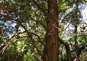 Clan Wood/Tree