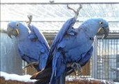 !Adult Hyacinth Macaws!