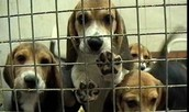 Dogs in animal testing lab.