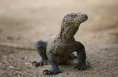 Younger Komodo Dragon