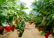 How to Organize your Strawberry's