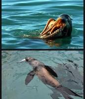 Fur seal eating