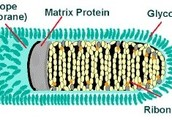 The Rabies Virus Diagram