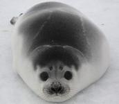 Small Ribbon Seal