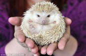 this is a hedgehog