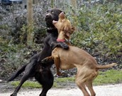 picture of dogs fighting