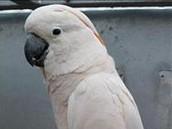 Adult Moluccan Cockatoos
