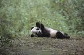 Pandas Endanged