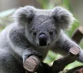 The Koala is beautiful and cute.