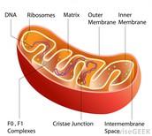 mitochondria power house