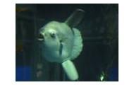 PARASITISM:   Ocean sunfish/sea lice