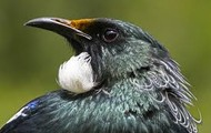 Picture of the Tui with it's two white stipes under his neck