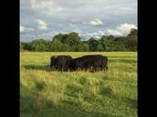Livestock Observations