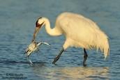 whooping crane eat