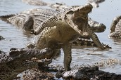 Crazy Gator attack