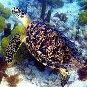 Hawksbill Shell