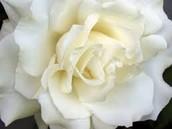 Nature ( White Rose )