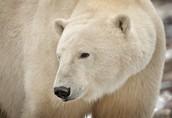 About polar bears
