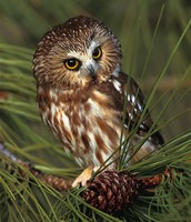Adult Male Owl