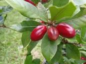 miracle fruit