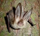 SAVING THE NORTHERN LONG-EARED BAT