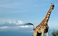 Giraffe & Kilimanjaro