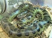 The Green Anaconda