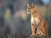 how to save the eastern cougars...