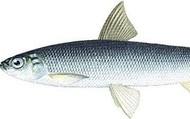 Сиговая рыба.