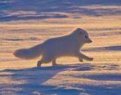 Arctic Fox in the Tundra biome