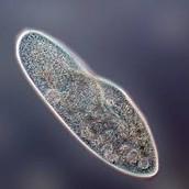 how does the paramecium respond to environment
