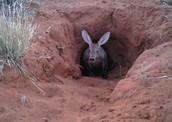 Aardvark in Burrow