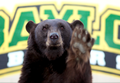 How a bear was chosen to be Baylor's mascot