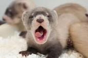 Infant Ferret