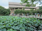 The famous lotus flowers at Wuyi University