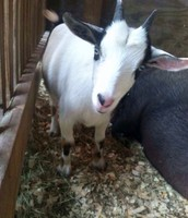 Goats are lovely