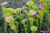 Yellow Pitcher Plants