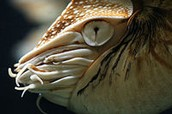 Head of Nautilus pompilius showing the eye