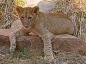 Lion Exhibit