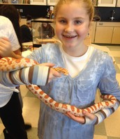 Maize the Creamsickle Corn Snake