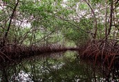 The main job of the Mangroves