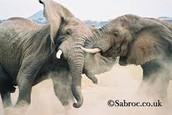 Elephant vs Elephant